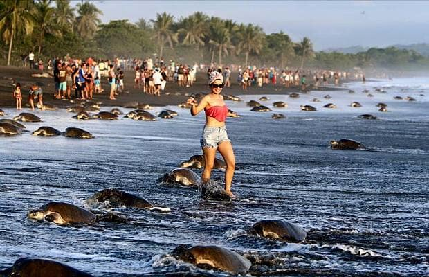 Breeding turtles on Ostional Beach run a gauntlet of selfie surfers. Courtesy Costa Rica Ministry for Environment and Energy.