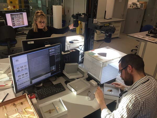 Digitisation of insects from Malaysia underway at the British Natural History Museum - those that were described by Sir Alfred Wallace, and more