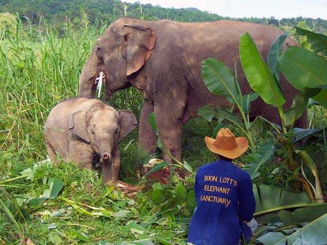 Local mahouts work closely with the elephants, without cruelty. Courtesy BLES.