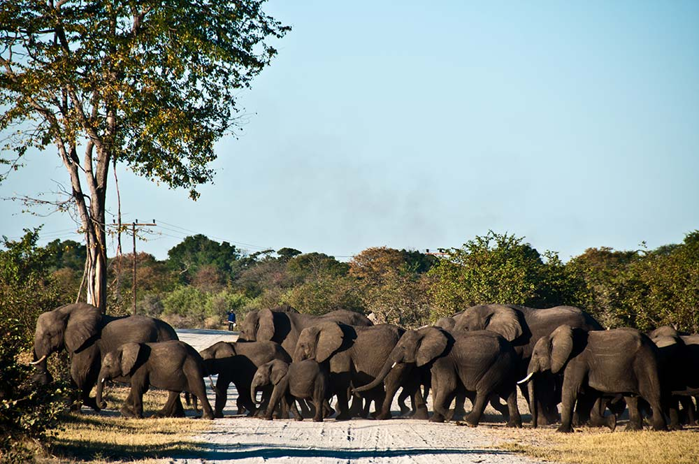Elephants have their own ancient routes - and they often cross human roads. Courtesy Ecoexist.