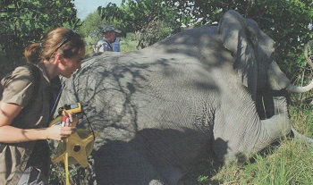 Songhurst has been working with elephants since 2004. Courtesy J.Gifford.