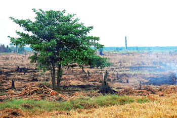 The burning of peatland causes more greenhouse gas emissions than the burning of other types of forested areas, and the continued underground burning of plant matter beneath the earth's surface can last for months. Credit: CIFOR / flickr.