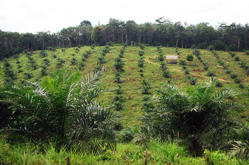 A leading cause of deforestation is the profit potential of crops such as palm oil. This image shows an oil palm plantation bordering intact forest in Jambi province, Indonesia. Credit: CIFOR / flickr.