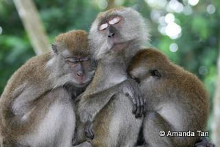 Three's never a crowd with a family of macaques, famously known as the Hindhede troop near Bukit Timah nature reserves. Greg (far right) has been missing, according to Amanda Tan.