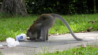 Macaques are curious and may eat your leftovers after foraging through rubbish bags, so it's important to keep plastic bags full of food or trash away from their sight.