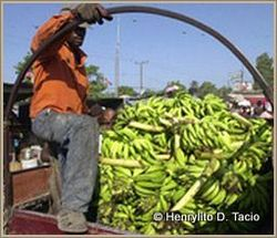 In Haiti, bananas provide a decent income for many farmers outside the earthquake ravaged regions.