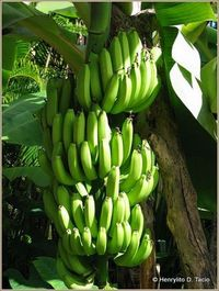 Bananas are often harvested while green, then allowed to ripen while they are transported.