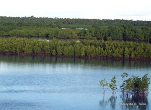 Mangroves act as buffers to big waves while providing essential hideouts to fish, prawn, and more.