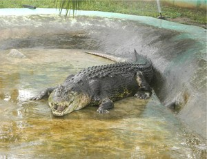 Lolong is no longer the largest saltwater crocodile alive due to poor environmental and captivity conditions in the Philippines.