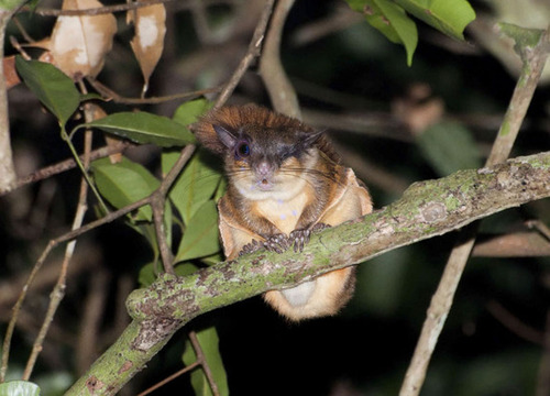 The small Horsfield's Flying Squirrel is a mammalian inhabitant of the CCNR and has been observed in larger numbers in regrowth forests. Photo by Marcus Chua.