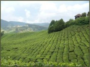 Damp, less sunny weather increases the chances of pests on the crowded tea plantations.