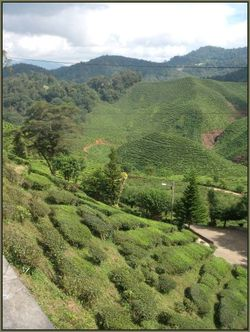 It's not just the amount of tea leaves that is being affected - the taste is changing too.