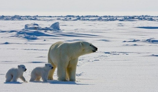 Polar bears traditionally hunt mostly on the ice shelf. Courtesy PBI International