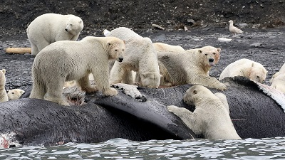 Polar bears have been observed feasting on beached whale carcasses. Courtesy Phys.org