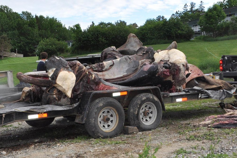 IN CONJUNCTION WITH WHALES AND NAILS HER SKELETAL REMAINS (with entanglement intact) WERE CARTED TO A LARGE COMPOST HEAP TO BEGIN THE PROCESS OF PRESERVATION AND ARTICULATION.