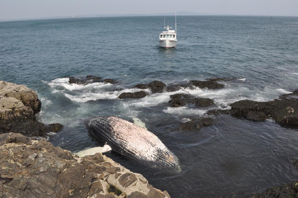 SPINNAKER WASHED ASHORE DEAD IN ACADIA NATIONAL PARK IN MAINE ON JUNE 11, 2015