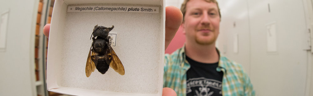 One of the only-known specimens of the Wallace's Giant Bee, last seen in 1981 in Indonesia. (Photo by Clay Bolt)