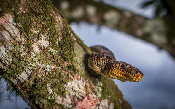 Cropan's Boa, Brazil    NATIONAL GEOGRAPHIC. FEBRUARY 10 2017.