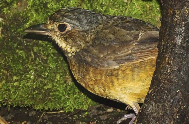 Táchira Antpitta, Venezuela    AMERICAN BIRD CONSERVANCY. JULY 25 2017.