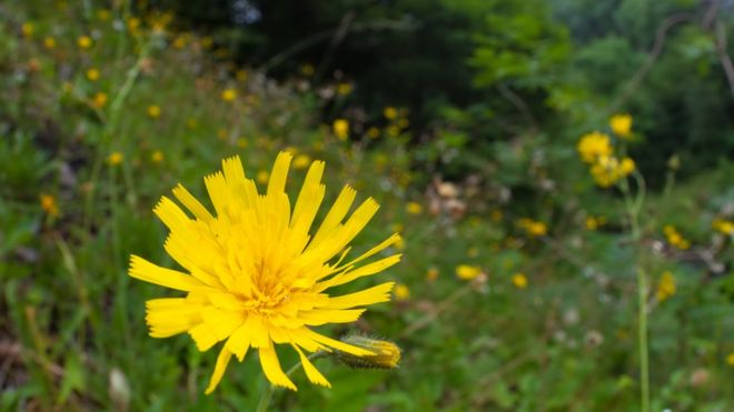 Leek-coloured Hawkweed, UK    BBC NEWS UK. SEPTEMBER 6 2017.