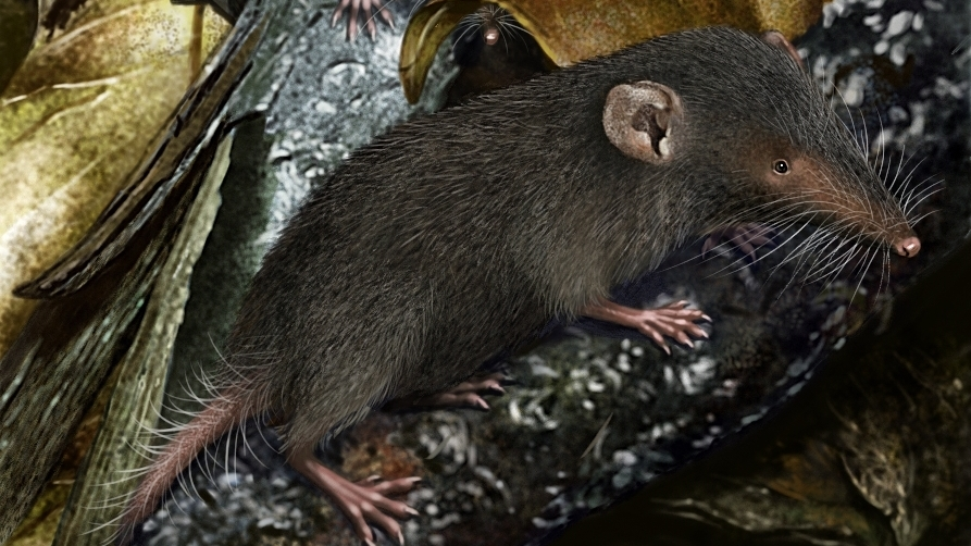 Christmas Island Shrew_credit Owen Bell.jpg