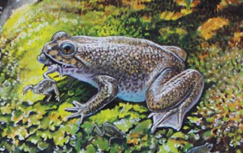 Rheobatrachus silus