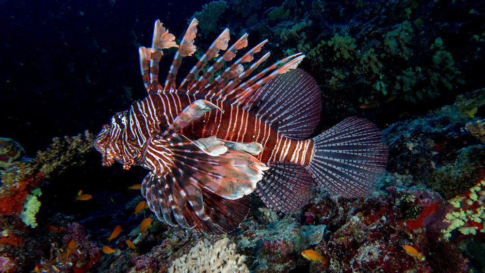 A native to Southeast Asia, the Lionfish is an invasive species and has spread along the Gulf of Mexico.