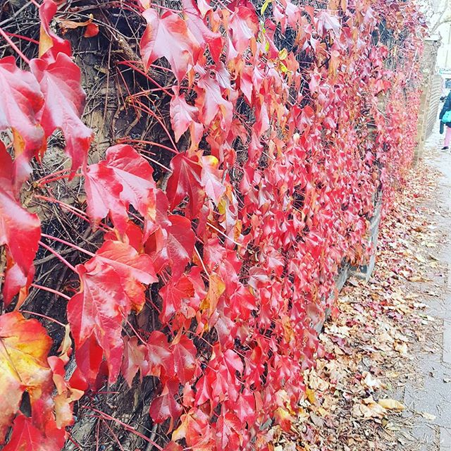 Not a green wall....red wall.  #autumn #london