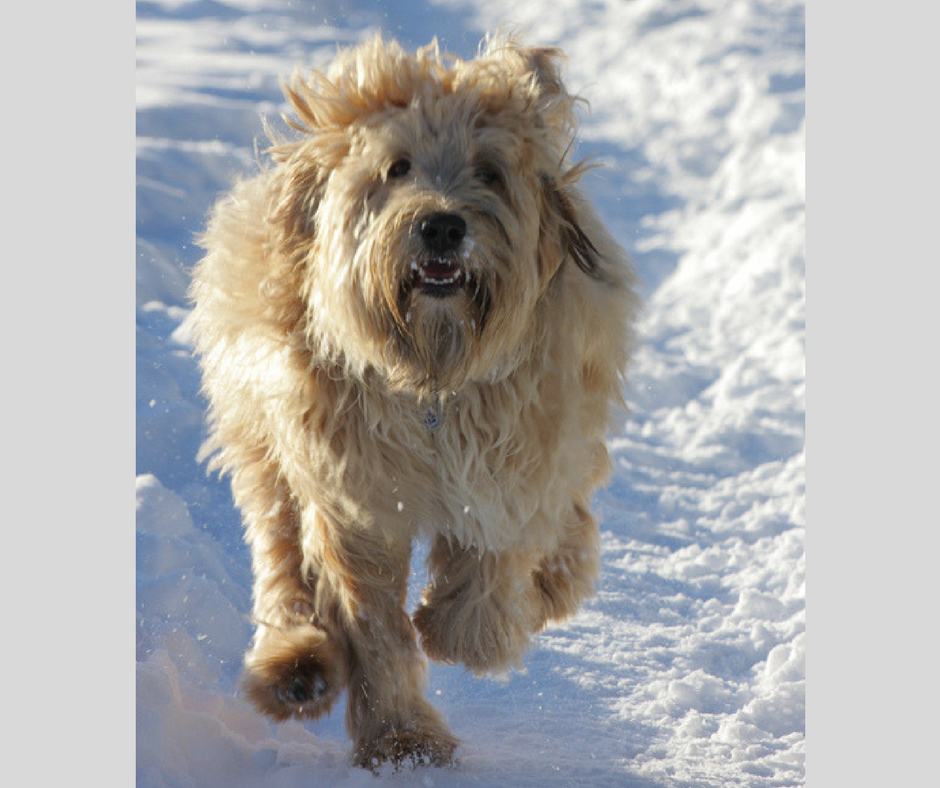 Edinburgh dog behaviour modification - shaggy dog running in snow