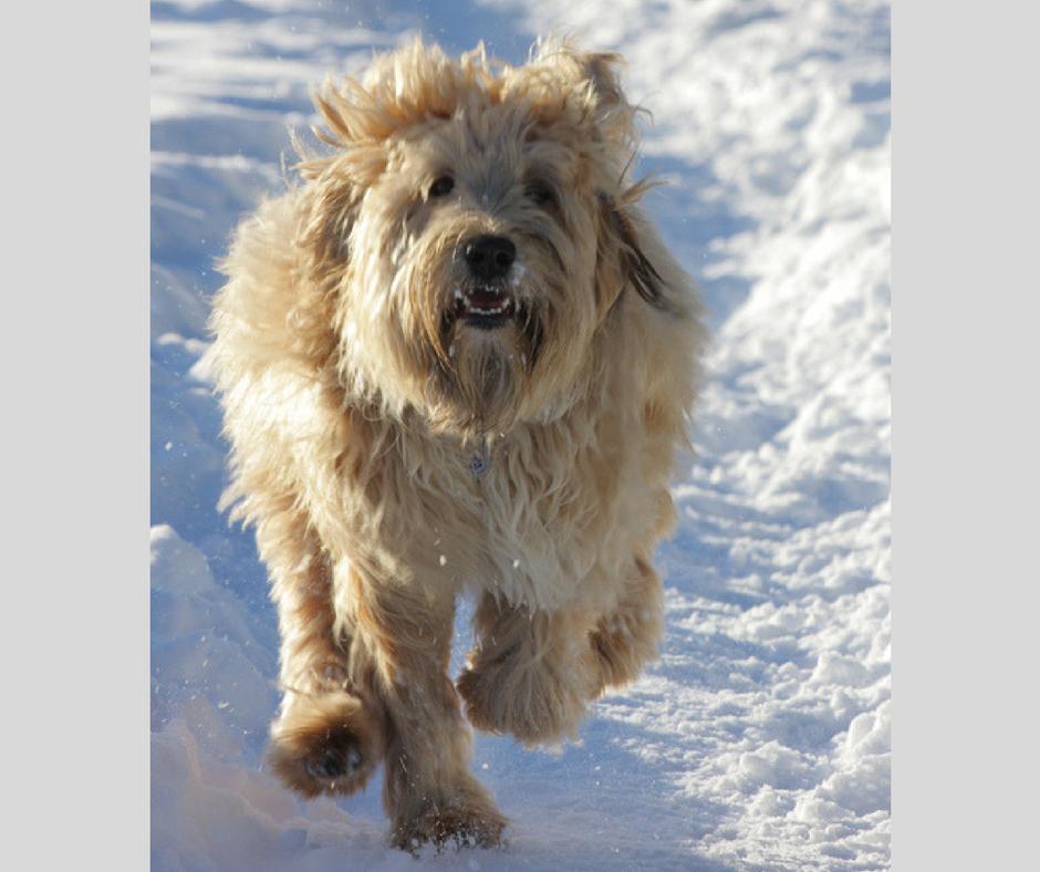 Edinburgh dog behaviour modification - shaggy dog running in snow