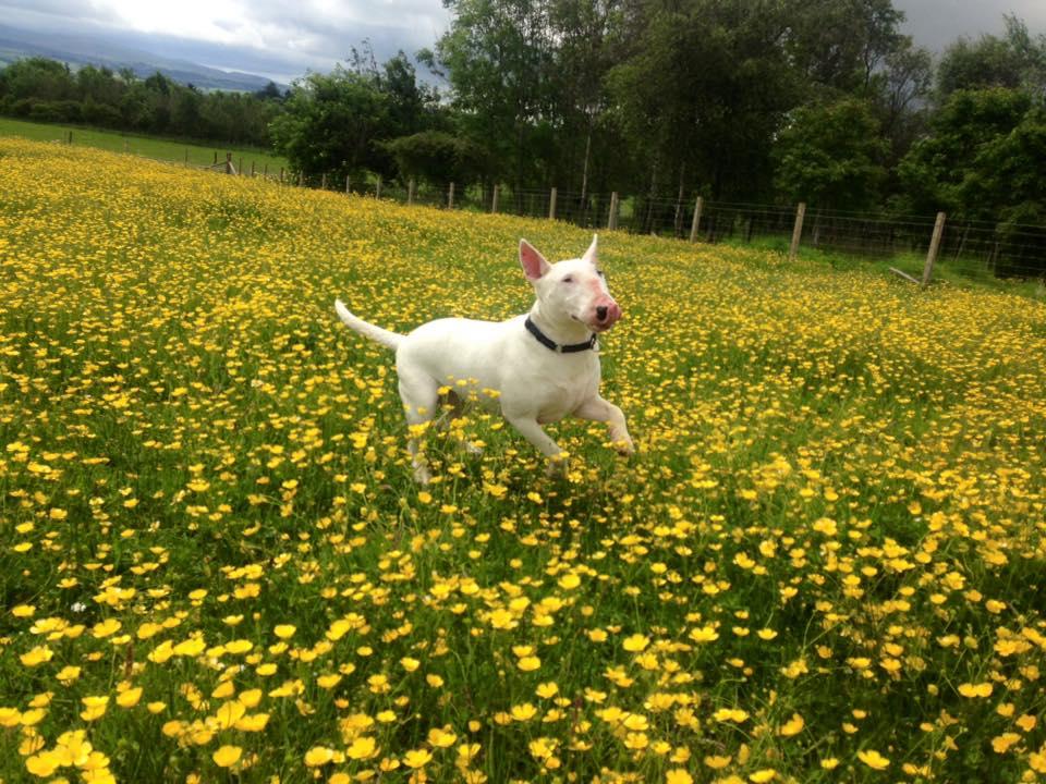 Edinburgh dog training - Bull Terrier in field of flowers