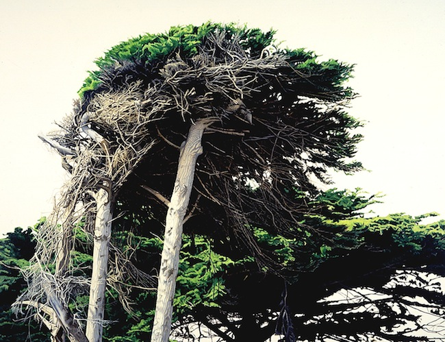 cypress, Pacific coast