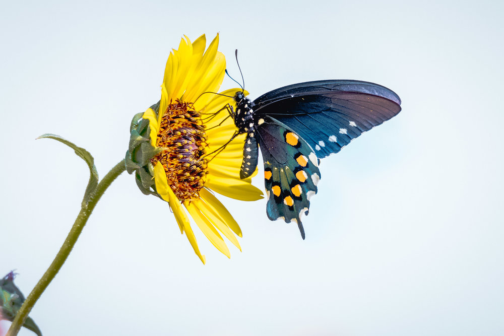 Pipevine Swallowtail - Gulley Road (Texas)