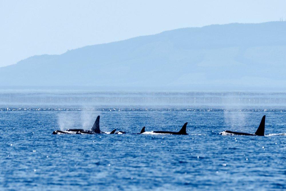 Orcas - San Juan Island