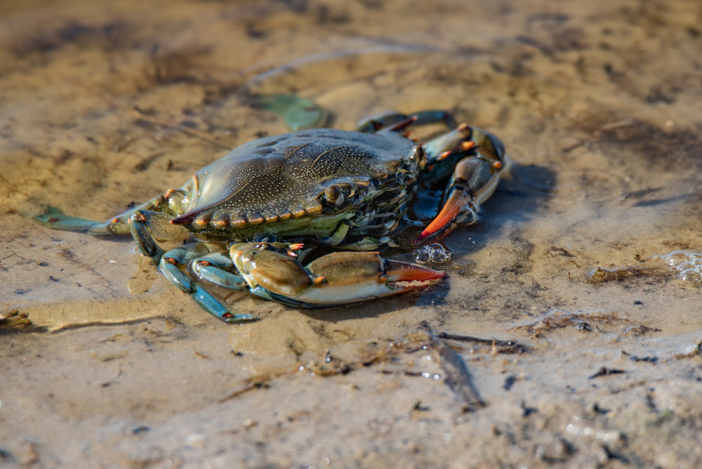 Blue Crab - Port Aransas, Texas