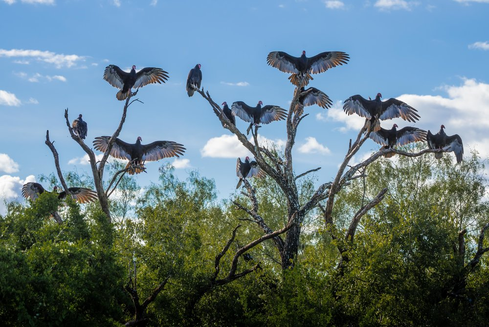 Turkey Vultures in a horaltic pose