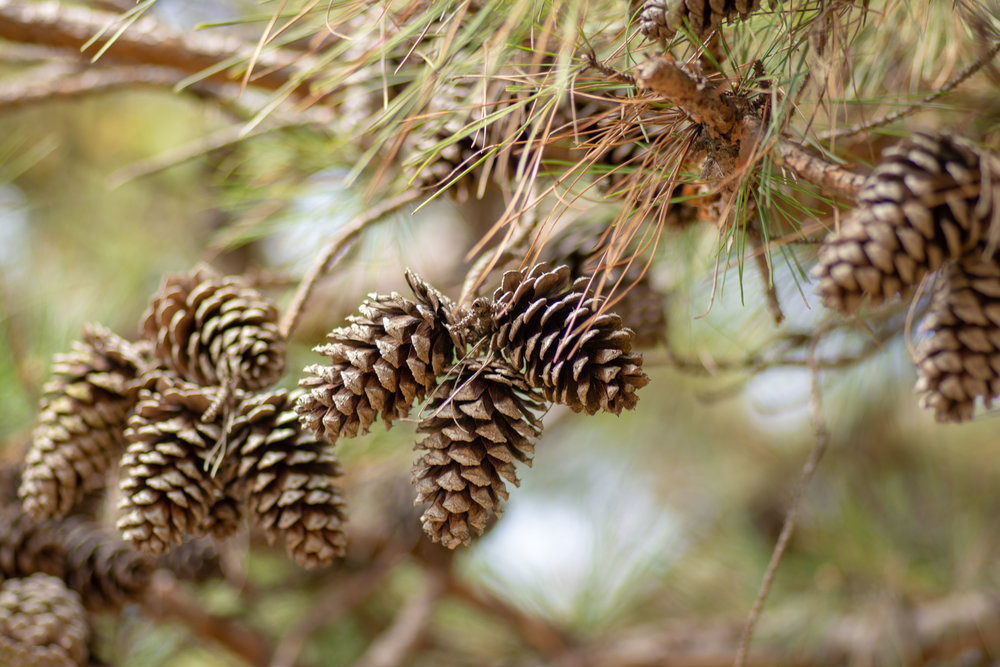 Thousands of pine cones dangle from branches