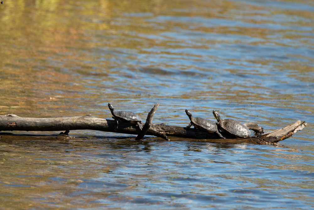 Turtles catching some rays