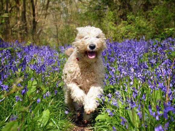 dog-running-through-woodland-flowers.jpg