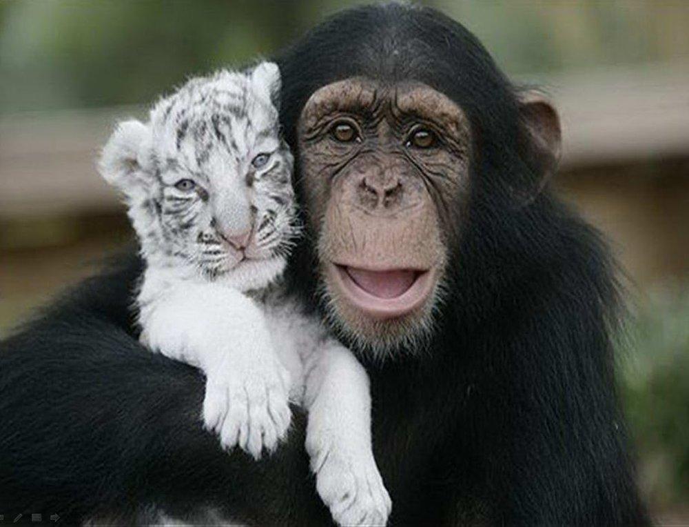 tiger and chimp.jpg