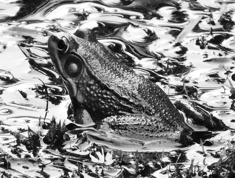 Frogs Black and White