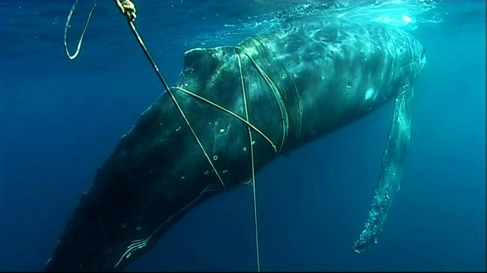 Whale entanglement is a growing problem - A recent report estimated that 300,000 whales and dolphins die annually due to entanglement in fishing gear and marine debris. Photo courtesy of the International Whaling Commission.