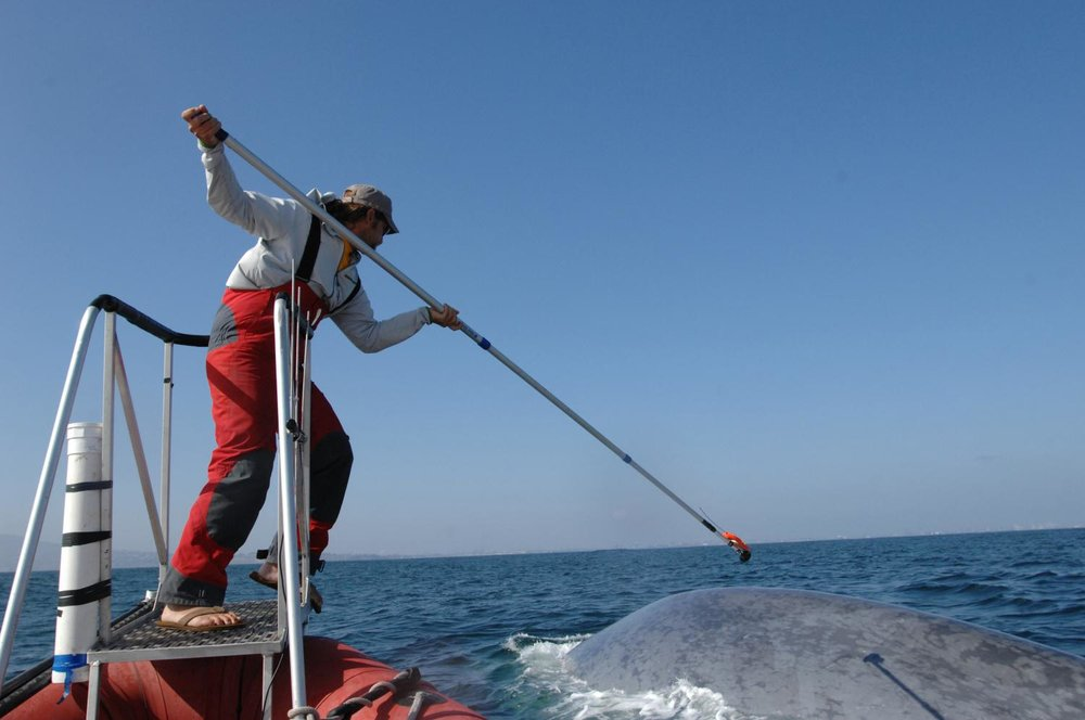 How to Blue Whales Respond to Sonar? - COA Scientist explore this question in a new paper published in the Journal of Experimental Biology! READ MORE HERE