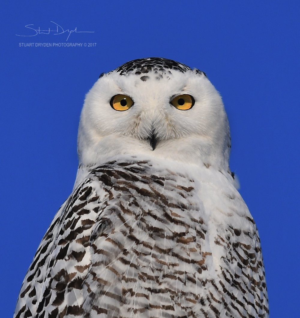 mount-sunset-snowy-owl-jan25-TIGHT170068-1.jpg