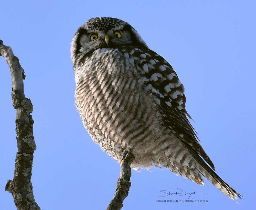 Northern-Hawk-Owl-Feb8-170168TIGHT2.jpg