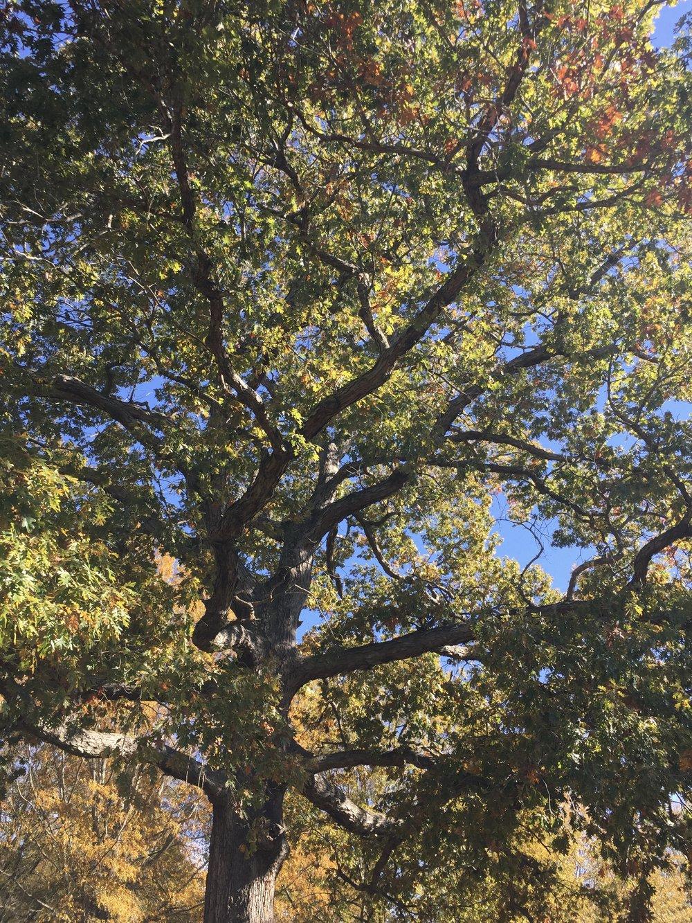 white oak.jpg