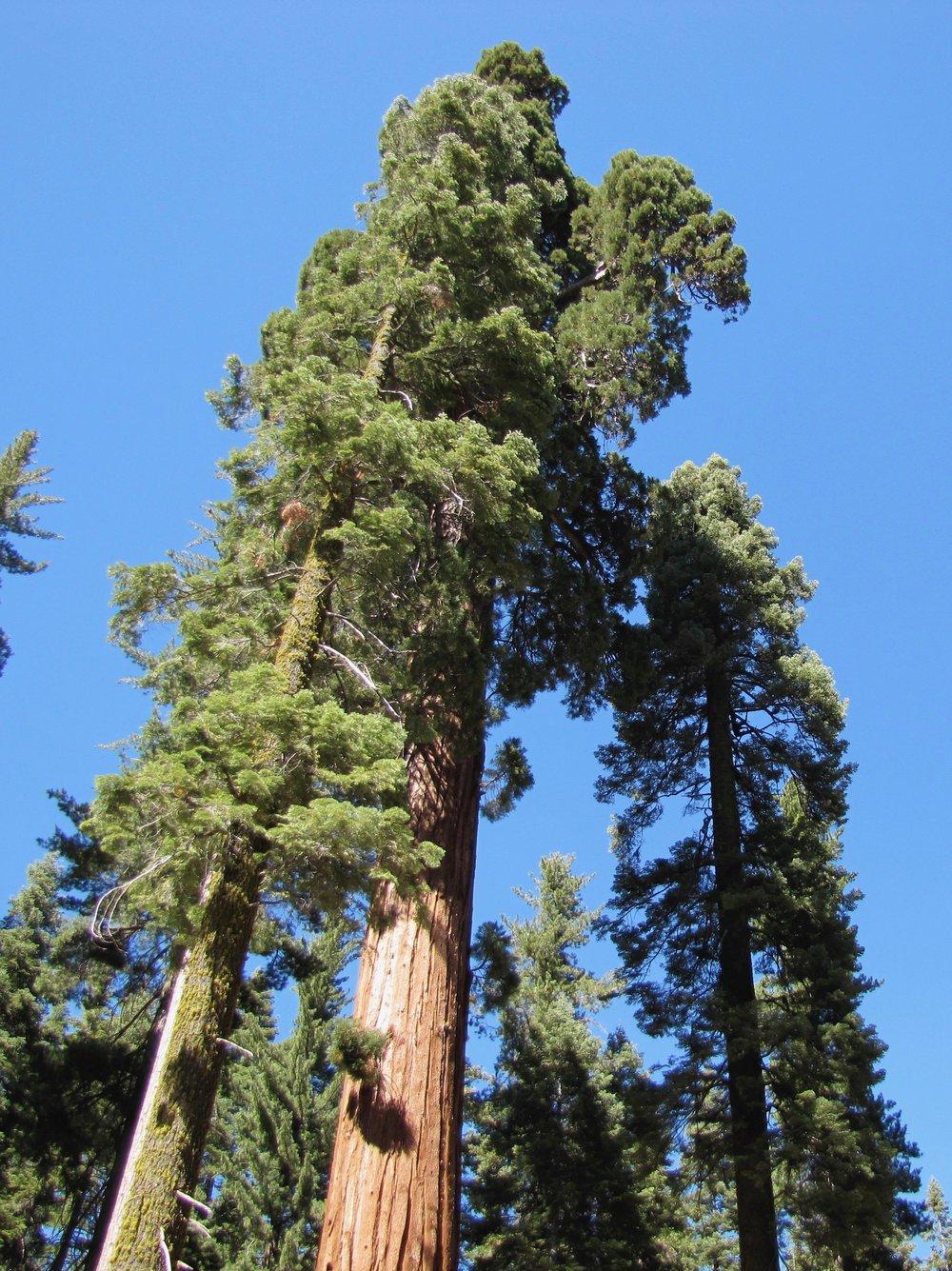 redwoodforestbathing