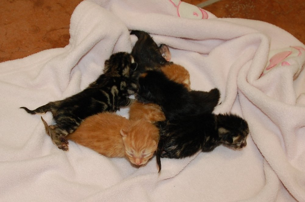 Bella's six kittens cleaned up and ready for their bottle feedings.