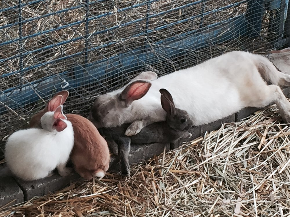 Bunnies at the county fair.