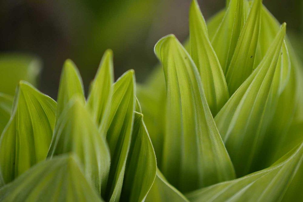 Shallow depth of field green leafs.jpg